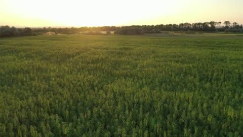 ampia vista aerea al tramonto di un bellissimo campo di canapa cbd di marijuana - campo video stock e b–roll