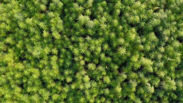 Wide aerial top view of a beautiful marijuana CBD hemp field Wide aerial top view of a beautiful CBD hemp field. Medicinal and recreational marijuana plants cultivation. cannabidiol stock videos & royalty-free footage