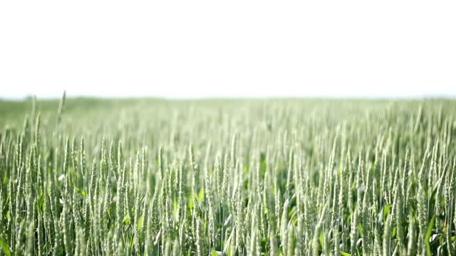 綠色小麥廣角拍攝 - four seasons 個影片檔及 b 捲影像