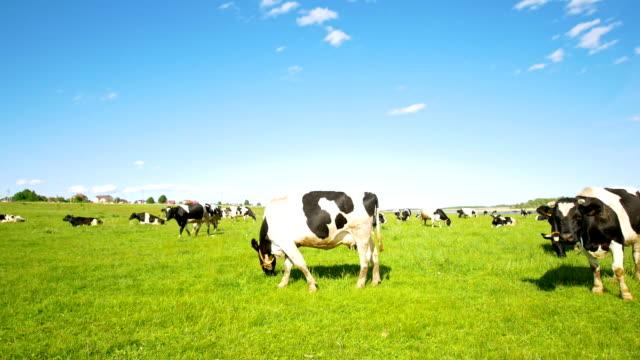 vidéos et rushes de grand champ avec pâturage de vaches dans les pâturages en journée d'été ensoleillée - vache laitière