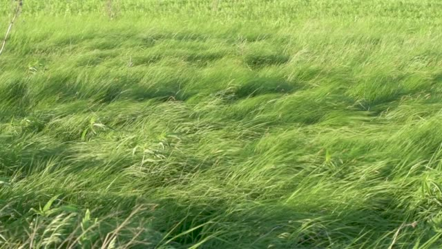 Wide Shot Native Prairie Grasses Blowing In Slow Motion video