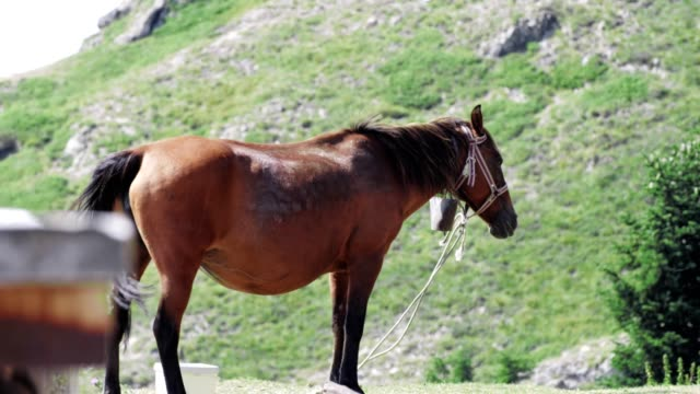 Wide Shot of a Beautiful Brown Horse Grazing in the Mountain, Animals in Nature, Wildlife,