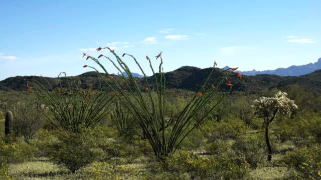 ajo、アリゾナ州の近くオコティージョ サボテンのワイド ショット - オコティロサボテン点の映像素材/bロール