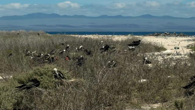 breite schuss von frigatebirds nisten in den galalagos-inseln - fruchtwasserbeutel oder dottersack stock-videos und b-roll-filmmaterial