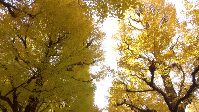 Wide shot of Ginkgo trees Wide shot of Ginkgo trees in Japan ginkgo tree stock videos & royalty-free footage