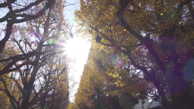 4K: Wide shot of Ginkgo trees Wide shot of Ginkgo trees in Japan ginkgo tree stock videos & royalty-free footage