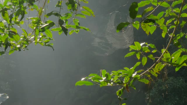 Wide shot of spider working on web Wide shot of spider working on large web in the jungles of Indonesia vascular plants stock videos & royalty-free footage