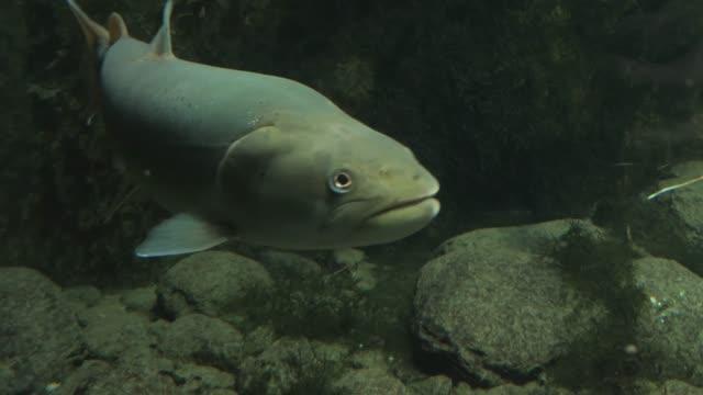 wide shot of trout - głowa zwierzęcia filmów i materiałów b-roll