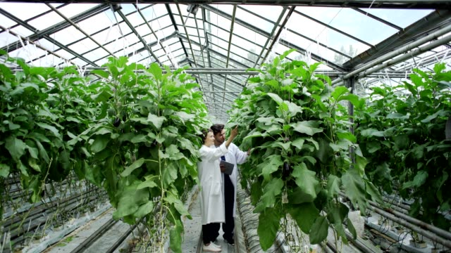 Wide shot of two agricultural food scientists, man and woman in white coats standing by rows of eggplants and talking while examining vegetable plants in commercial farm greenhouse