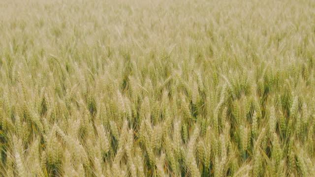 vidéos et rushes de grand coup de champ de blé se balançant dans le vent - couleur saturée