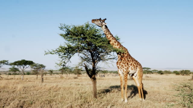 wide view of a giraffe feeding on acacia leaves at serengeti national park wide angle view of a giraffe feeding on acacia leaves at serengeti national park in tanzania, africa tanzania stock videos & royalty-free footage