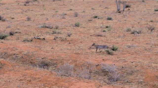 Wild African Cat Caracal Runs Through The Desert With Red Ground In Samburu