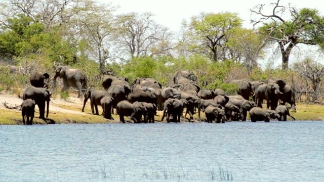wild African Elephant, Africa safari video