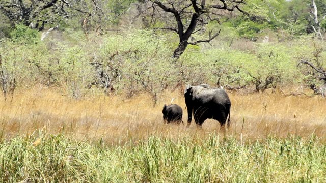 wild African Elephant female with baby, Africa safari video