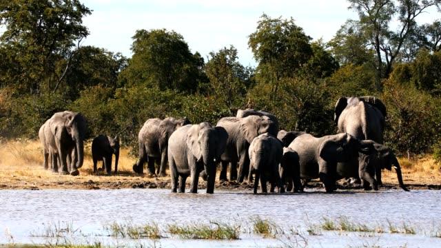 vidéos et rushes de éléphant d'afrique sauvage au botswana, afrique - plan d'eau