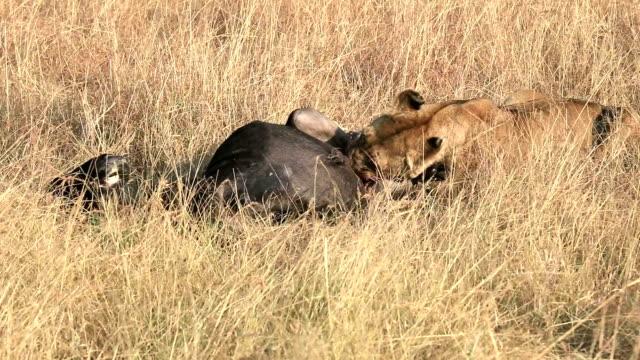 stockvideo's en b-roll-footage met wild african lioness eating a freshly killed wildebeest - leeuwin