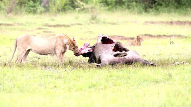 stockvideo's en b-roll-footage met wilde afrikaanse leeuwin eten een vers gedode gnoe - leeuwin
