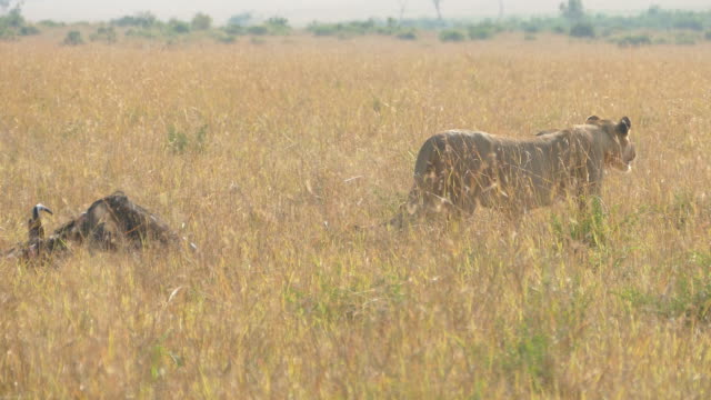 Wild African Lioness hunting / preying video