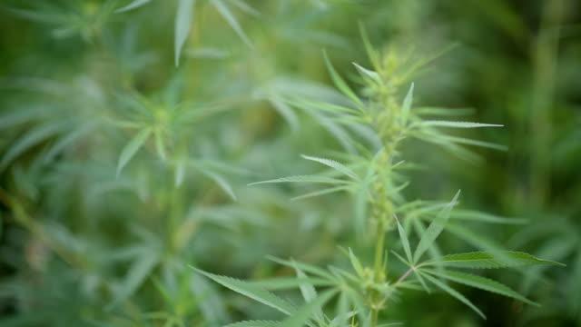 vídeos y material grabado en eventos de stock de cáñamo agrícola silvestre crece en el campo - botánica