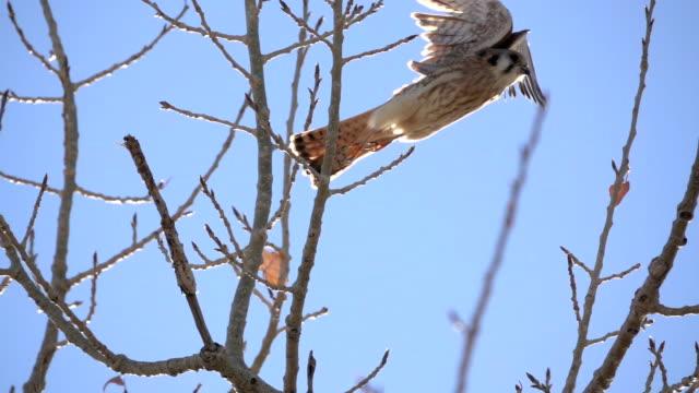 Wild American kestrel takes off slow motion video Littleton Colorado