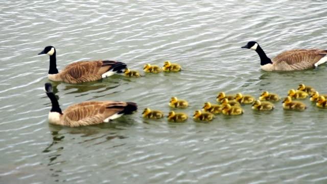 Wild Animal Goose Geese Family Swim Newborn Chicks Columbia River video