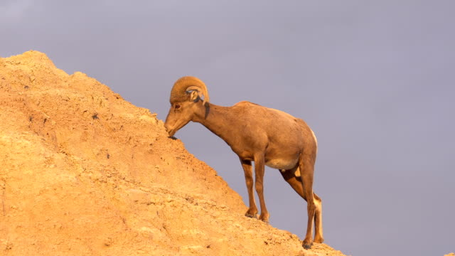 Wild Animal High Desert Bighorn Sheep Male Ram High Ridge video