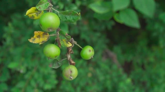 野生のりんごが木の上に生いていく - 熟していない点の映像素材/bロール