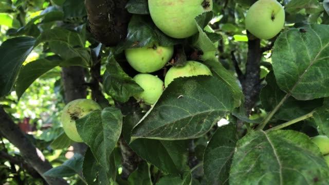 木の上の野生のりんご - 熟していない点の映像素材/bロール