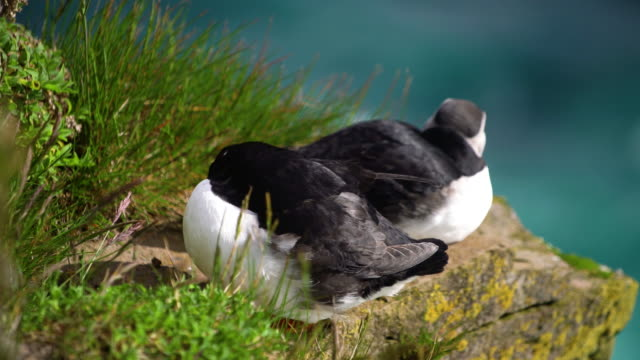 Video Wild Atlantic puffin seabird in the auk family in Iceland.