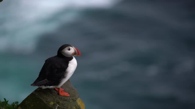 野生の大西洋パフィンは、アイスランドの auk の家族の中で海鳥。 - 自生点の映像素材/bロール