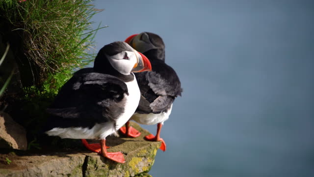wild atlantic puffin seabird in the auk family in iceland. - wildlife travel stock videos & royalty-free footage