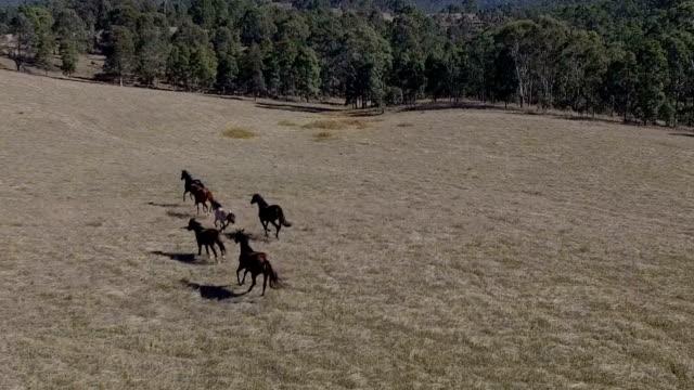Wild Australian Brumbies by drone video