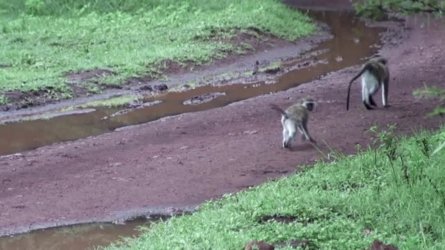 Wild Baboon Monkey in African Botswana savannah video