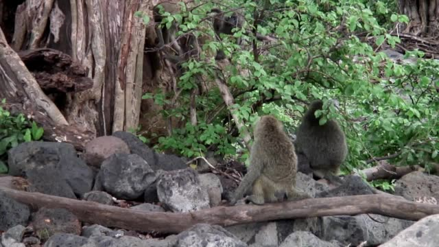 Wilde Pavian Affen in afrikanischen Botswana Savanne – Video