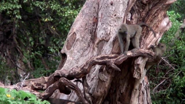 Wild Baboon Monkey in African Botswana savannah