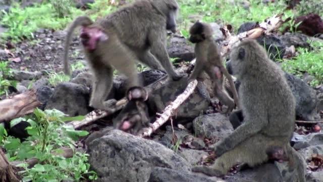アフリカのボツワナ サバンナの野生のヒヒ猿 - 動物園点の映像素材/bロール