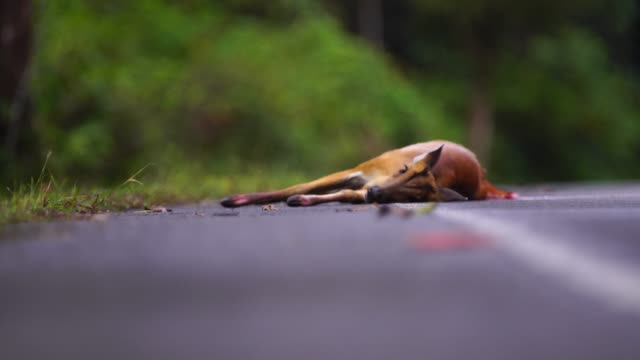 wild barking deer injuries from being hit by a car the incident took place on the road in khao yai national park. - jeleniowate filmów i materiałów b-roll