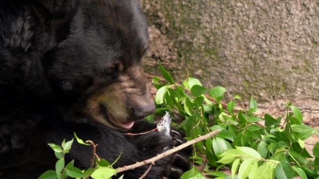 wild bear closeup eats freshly caught fish