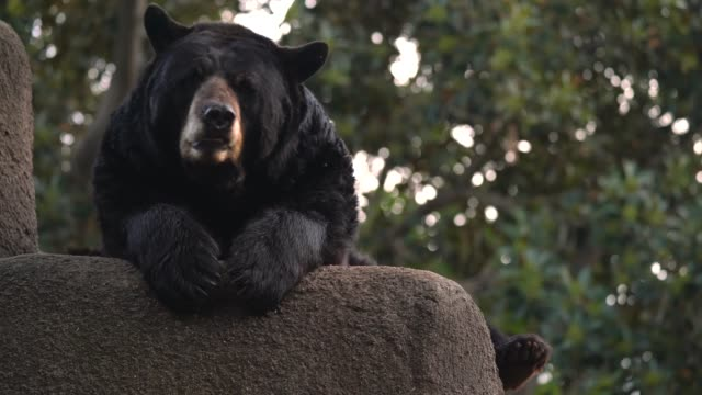 wild bear lounging breathing fog in cold weather