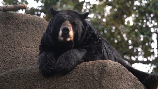 wild bear lounging, licking lips