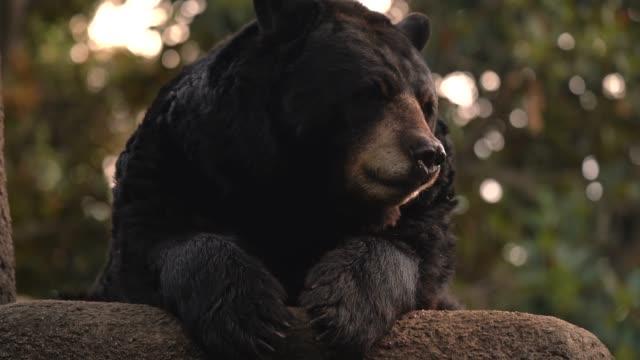 wild bear lounging, licking, nose dripping