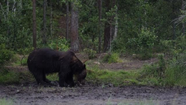 Wild bear walking  in forest