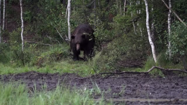 Wild bear walking  in forest