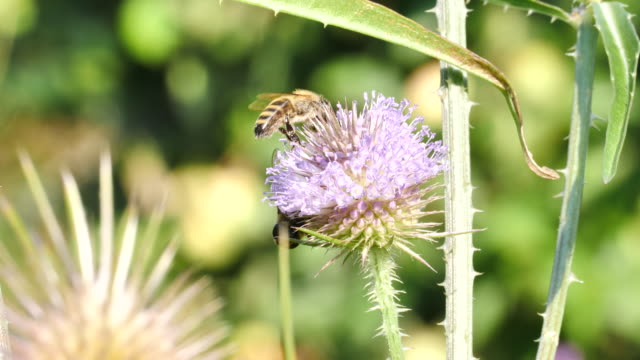 Wild bee on thistle blossom cleans of flower pollen