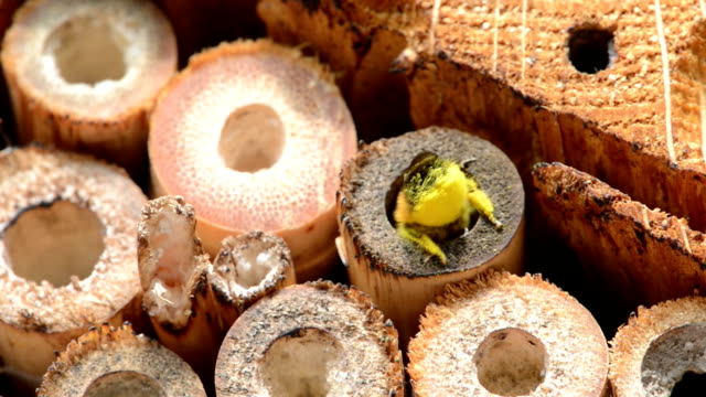 wild bee osmia bicornis - bi insekt bildbanksvideor och videomaterial från bakom kulisserna