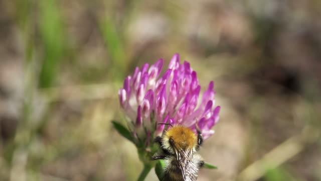 stockvideo's en b-roll-footage met slow motion: wild bee - arthropod