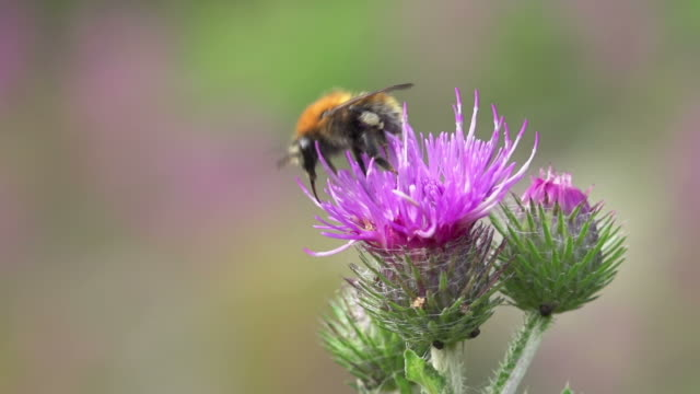 stockvideo's en b-roll-footage met slow motion: wild bee - minder dan 10 seconden