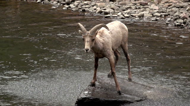 Wild bighorn sheep shakes off South Platte River Waterton Canyon Colorado slow motion HD video Standing on a boulder, a wild Rocky Mountain Bighorn sheep female shakes off the water from the South Platte River in Waterton Canyon, Littleton, Colorado. north america stock videos & royalty-free footage