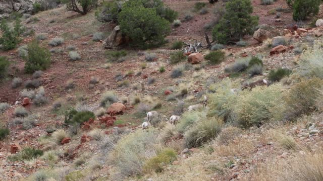 Wild Bighorn Sheep video