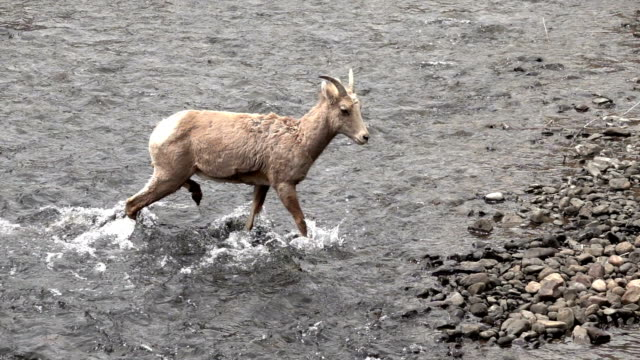 Wild bighorn sheep walks in South Platte River Waterton Canyon Colorado slow motion HD video video